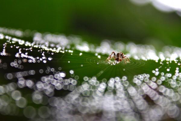 Spider wen dew
